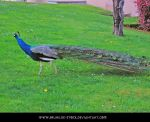 Peacock 2 by brunilde-stock