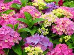 Colourful Hydrangeas by Kitteh-Pawz
