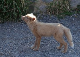 Red fox kit II by Track-Maidens