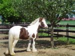 Gypsy Vanner Conformation Stock by LuDa-Stock
