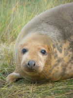 Donna Nook Seal 10 by Queenselphie