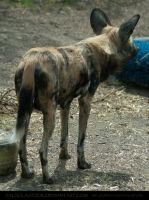 Painted Dog 2 by SalsolaStock