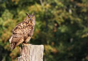 eagle owl_VI by deoroller