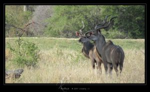 Kudus by Crooty