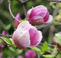 Magnolias by starykocur