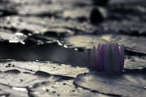 water lily by barbko