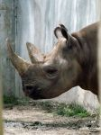 Black Rhino by Tweetspie