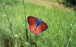 Schmetterling des Sommers (Lycaena Alciphron) by AdMalamCrucem