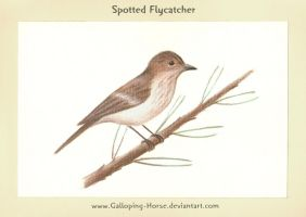 Spotted Flycatcher::Mucholowka by RivenPine
