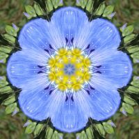 Blue Flax Flower 3 by ktraynor
