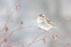 Fledgling Sparrow by welshbeck