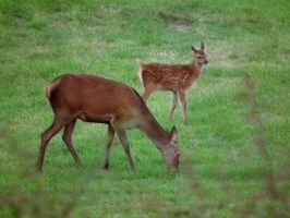 Doe And Fawn by harrietbaxter