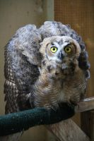 Fledgling: Great Horned Owl by 21Momo21