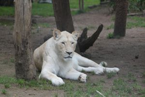 White lioness 2 by CitronVertStock