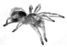 Spider II, high contrast BW by raptor-rapture