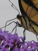 butterfly.bush by ibrunswick