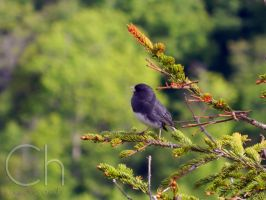 Chirp Chirp by Champineography