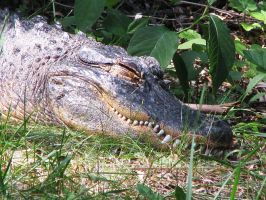 American Alligator Stock 1 by HOTNStock