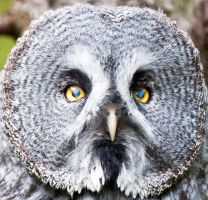 Great Grey Owl2 by PictureByPali