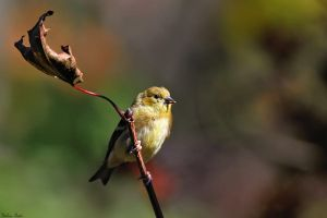 Autumn Goldfinch by mydigitalmind