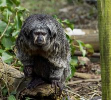 White Faced Saki by AcridMonkry