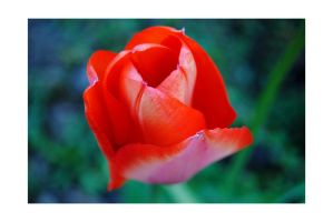 Red Tulip by GoldenBabe