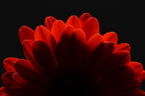 Red Flower Project 16 by masimage