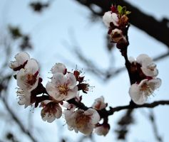 Blossoms by FireFlyExposed