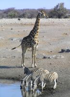 Giraffe and Zebra's Namibia by Jenvanw