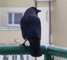 Jackdaw by cementine