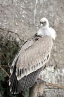 Old World Vulture 02 2010 by cinnabarr