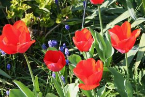 tulips in my garden 10 by ingeline-art