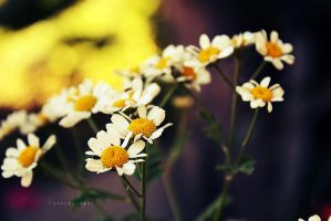 Little daisies by ourneverland