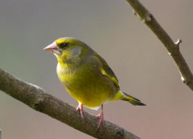 European Greenfinch (Carduelis chloris) by Steve-FraserUK