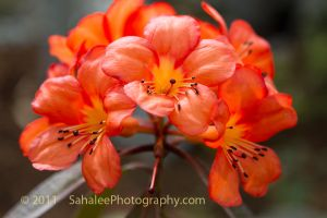 Orange Rhody by rayt