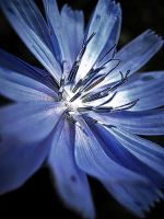 Blue Bloom by iriscup