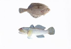 Round goby and a flounder by slingeraar