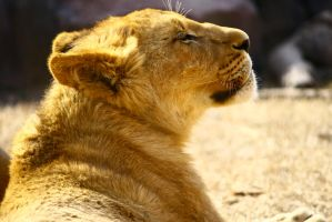 Lion Laying In the Sun by averyskees