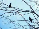 Crows in a Tree by Puppies22401