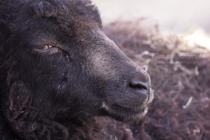 Black Sheep by TammyPhotography