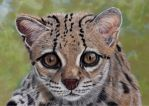 Margay pastels by Sarahharas07