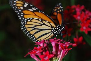 Monarch Butterfly Stock 17 by chamberstock