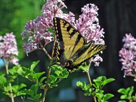 Swallowtail 2 by GrimFay