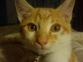 My red tabby's face by locoman2405