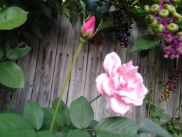 Pink Rose by GUDRUN355