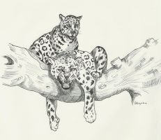Leopards by Stcyr74