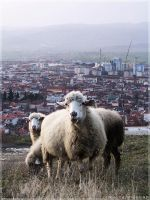 Feeling Sheepish by Rely