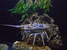 Big Blue Lobster by moreMDM