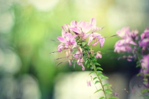 Pink Flowers by alexhascoolpictures