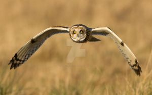 Hello again Jamie - Short-eared Owl by Jamie-MacArthur